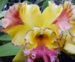 Catelya kuning
