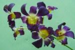 Dendrobium biru splas kuning