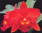 Cattleya Merah