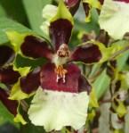 oncidium coklat