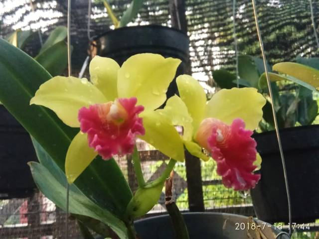 Cara Menyiram Tanaman Anggrek Yang Benar Sesuai Kebutuhan Agar Cepat Berbunga Wawa Orchid